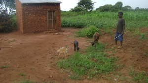 Kirya John returns home with his Goats