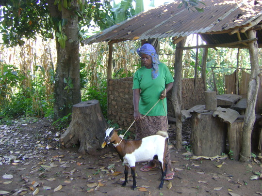 A WIDOW  REARING A GOAT FOR ORPHANS GOT FROM KADO