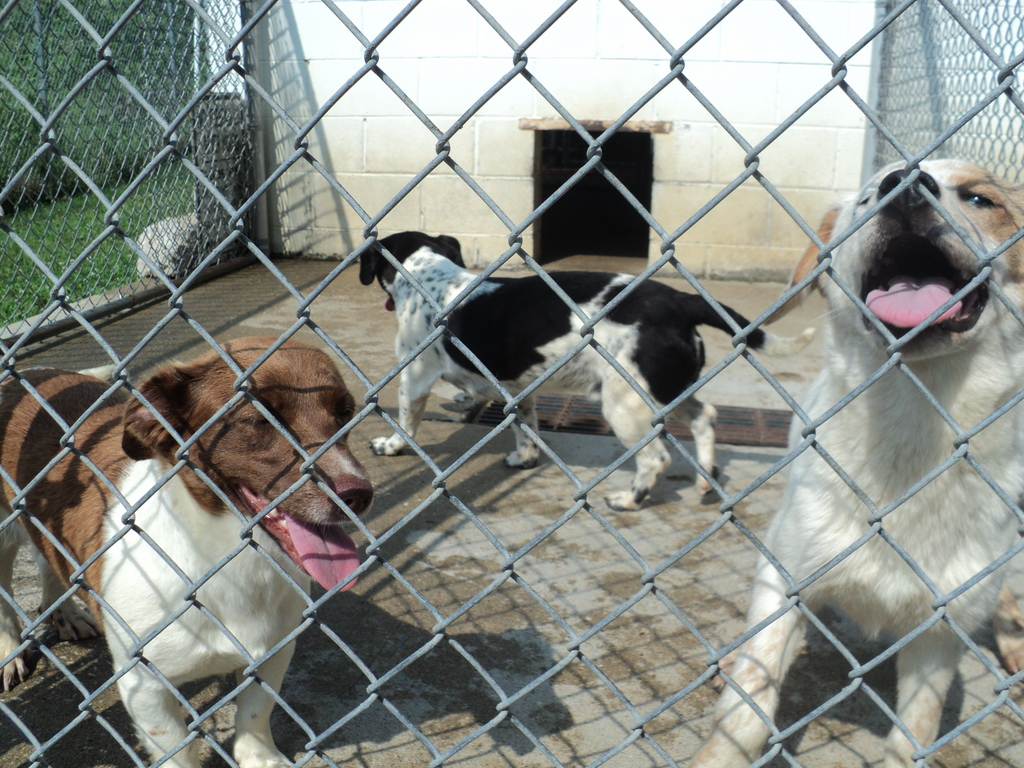 These homeless puppies watch as student volunteers build a brand new roof over their kennels. The puppies will be sheltered from the hot Kentucky sun and wet rains.