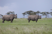 Earthwatch Expedition: Saving Kenya's Black Rhinos