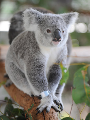 Frodo the koala recovered and ready for release