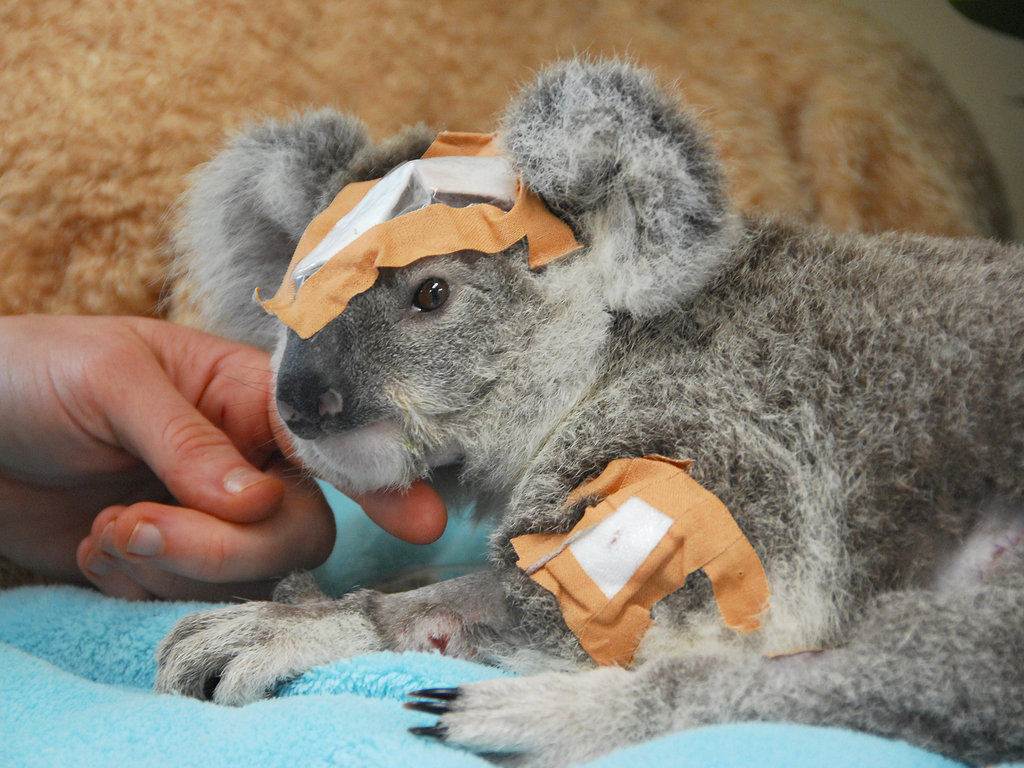 Frodo the koala was found in late 2010 following a shocking shooting. X-rays revealed 15 pellets scattered throughout her tiny body, one lodged in her skull. Frodo made a remarkable recovery at the Australia Zoo Wildlife Hospital, and was recently released back into the wild after 7 months in care.