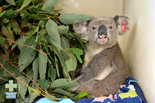 Braveheart the Koala
