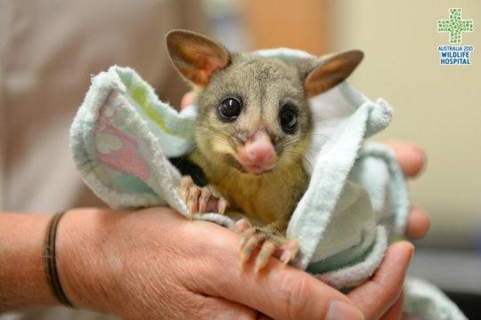 Lil Darlin the Brushtail Possum