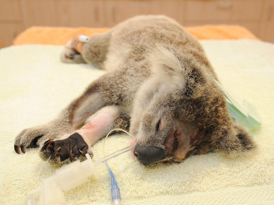 Koala joey Frodo on the treatment table