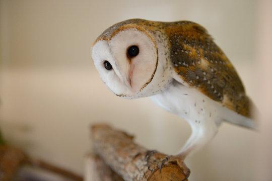 Harry the Barn Owl