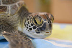 Lucy the Green Sea Turtle