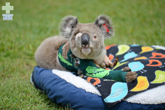 Pinto the koala with his new green cast
