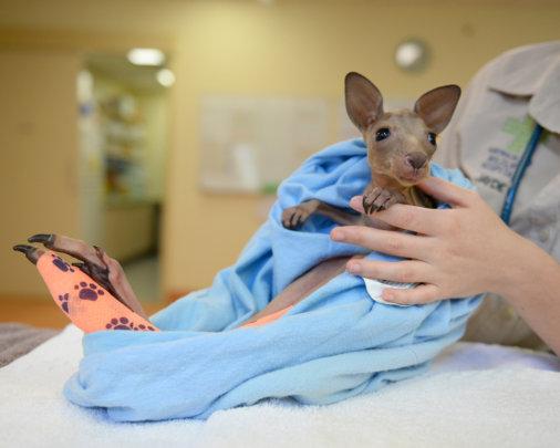 Vitae the Kangaroo Joey
