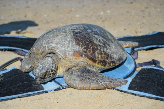 Freda the sea turtle almost home!