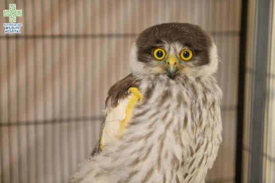 Caesar the Barking Owl