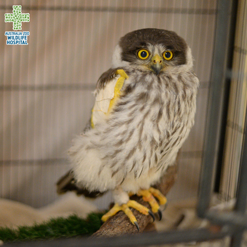 Reports On Treating Patients At Aust Zoo Wildlife Hospital