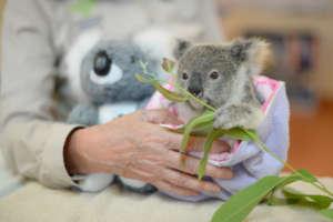 Shayne the Koala Joey