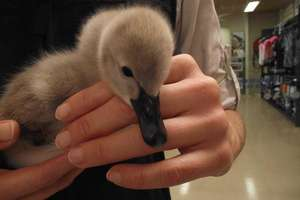 Anna the black swan cygnet. So fluffy!