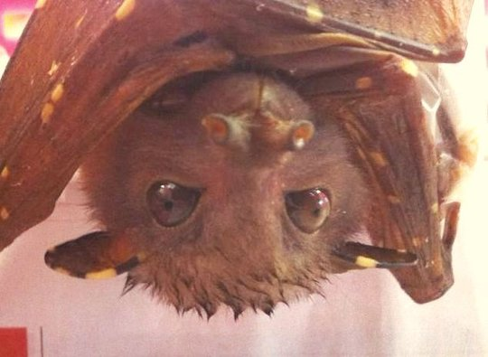 Kel the tube nose bat