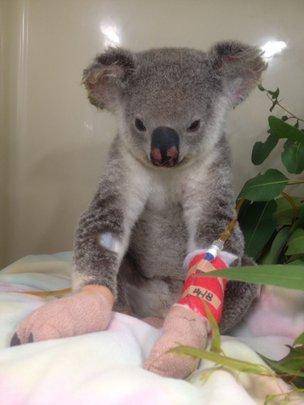 Betty Boo the koala