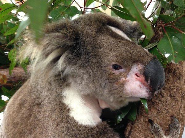 Callista, our first koala to have a tracheostomy!