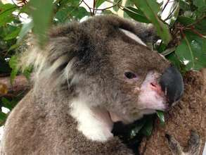 Callista, our first koala to have a tracheostomy!