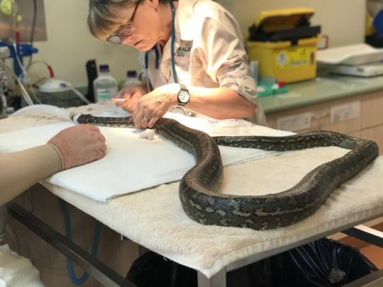 Cutter the carpet python receiving treatment
