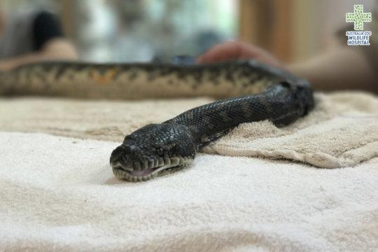 Cutter the carpet python