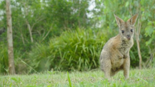 Derek the wallaby joey out and about