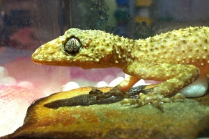One of our smaller patients - a Gecko