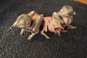 Kim, Ken and Kat - Baby Kookaburras