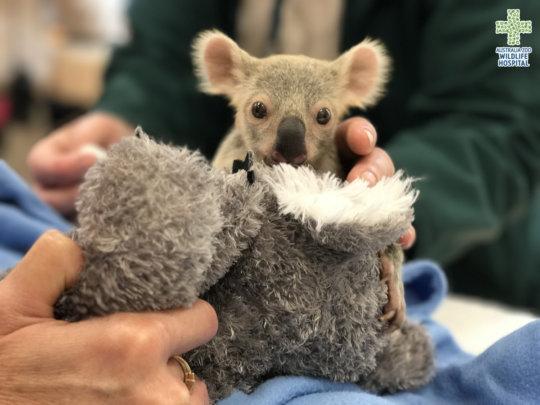 Lelo the orphaned koala joey receiving a check-up