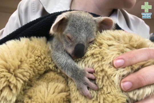 Lelo the orphaned koala clinging to a plush toy
