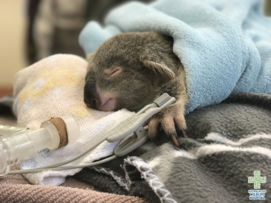 Lucy the koala joey in critical care