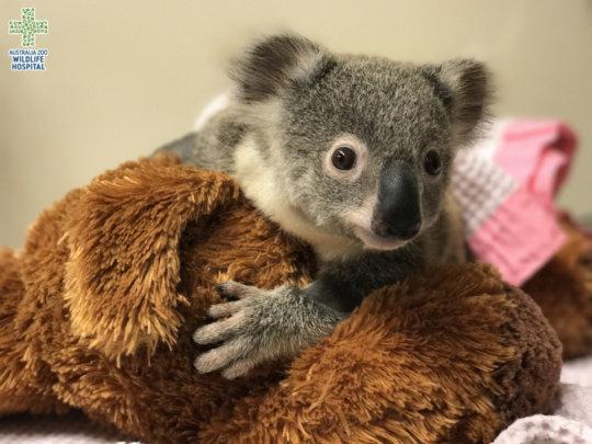 Lucy the koala joey in the nursery