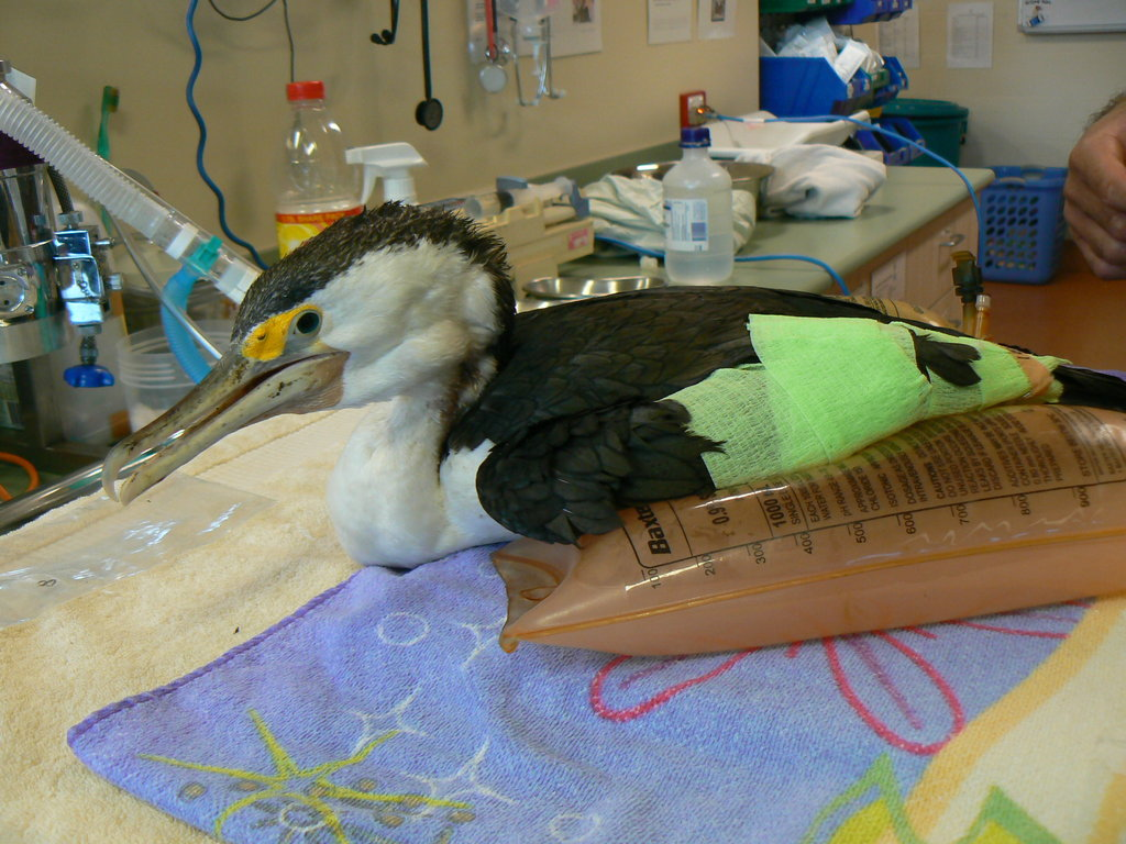 Ong a pied cormorant had 4 fish hooks stuck inside