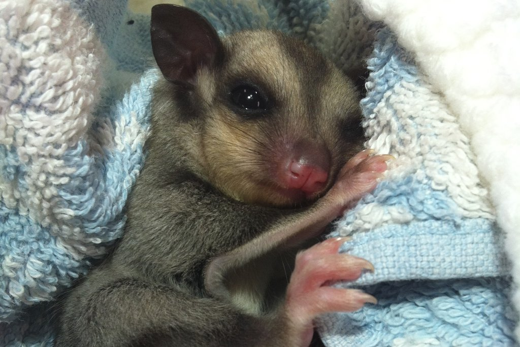 Peter the little orphaned Squirrel Glider