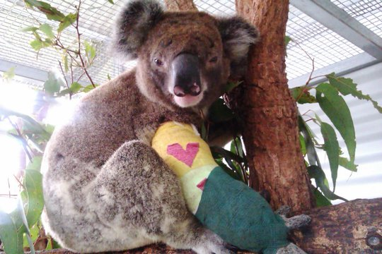 Pheno the koala sharing the love at Christmas