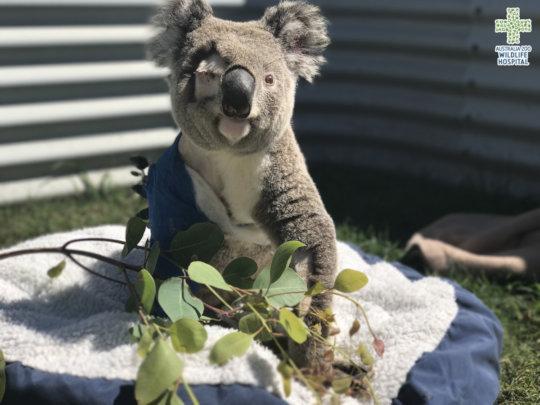 Pinto the koala basking in the sun