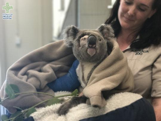 Pinto the koala in the arms of his vet nurse