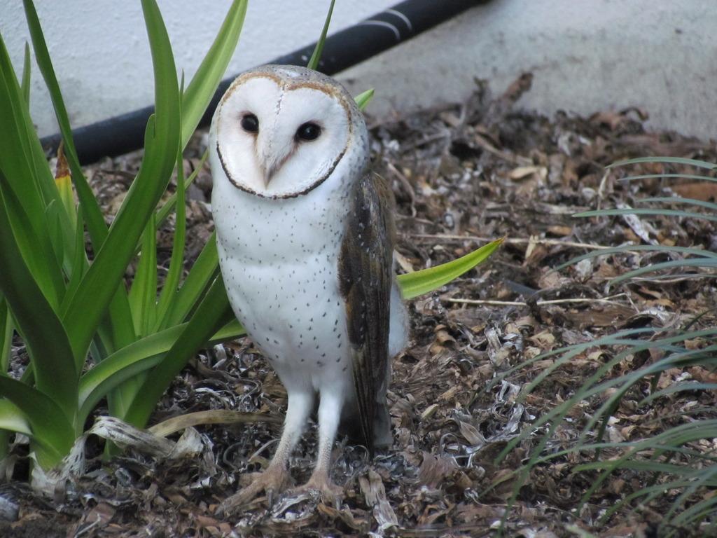 Reginald the Barn Owl