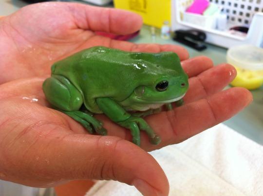 Rupert the green tree frog