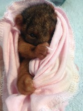 The adorable Ringtail Possum named Spitfire