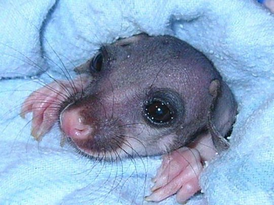 Summer, a common brushtail possum joey in care.
