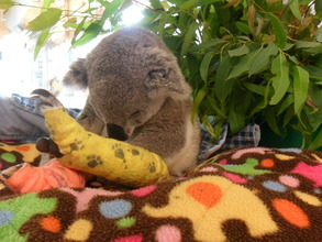 Winnie Moo the koala
