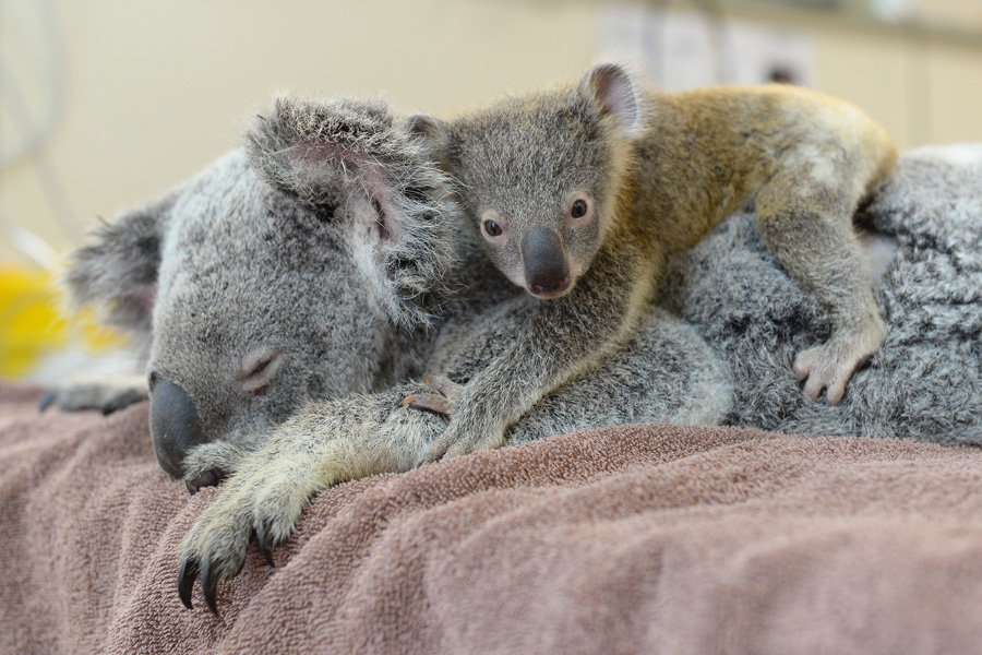 Frances the koala suffered several fractures to her right shoulder after she was hit by a car. Her little joey, Benny, will stay alongside mum throughout her treatment and recovery at the Australia Zoo Wildlife Hospital.