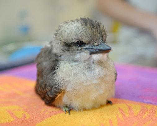 Kookaburra chick