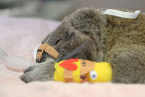 Koala being treated
