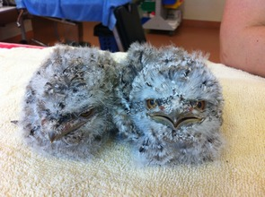 Phil and Ben the Tawny Frogmouth Chicks