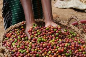 Harvested coffee