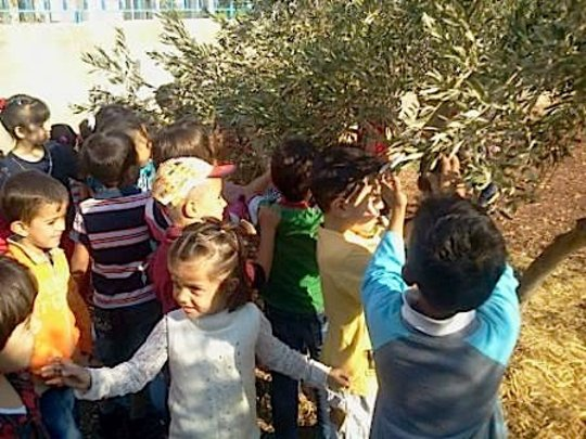 Kindergarteners harvesting olives