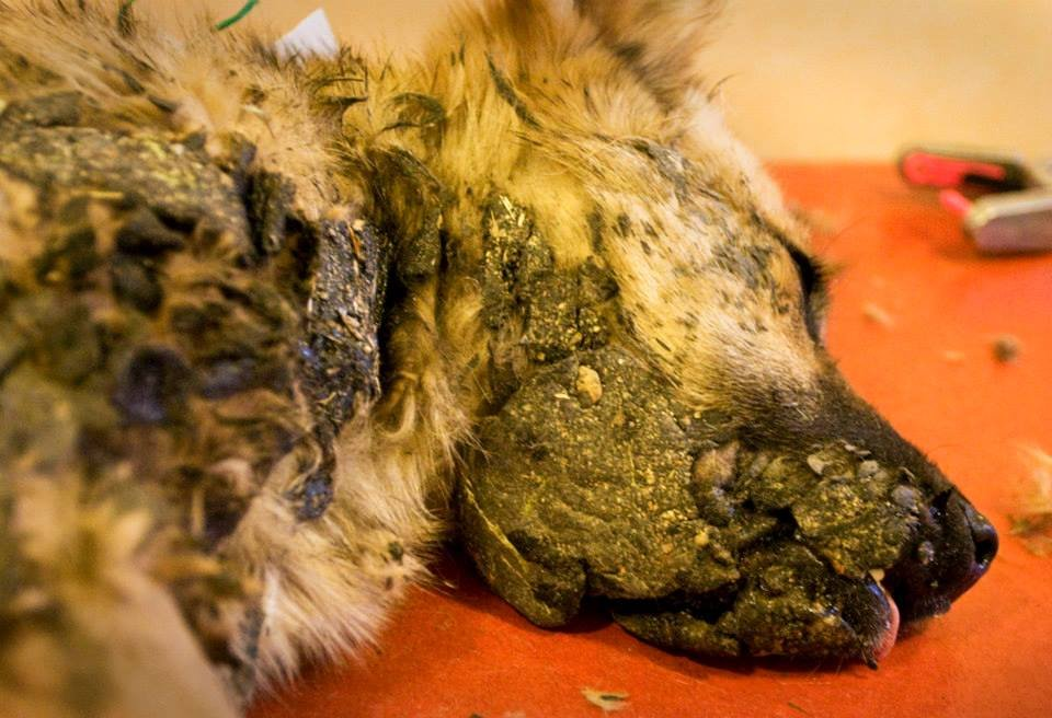 Puppy brought in covered with tar