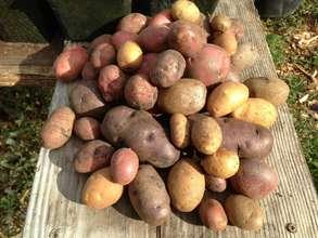 Potato Havest