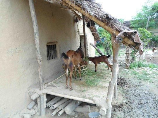 Livelihoods: Goat Keeping